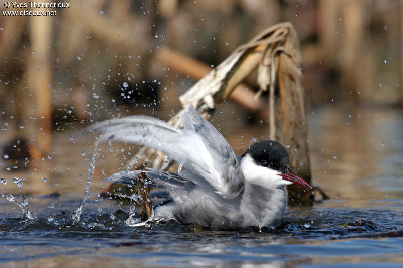 Whiskered Tern adult