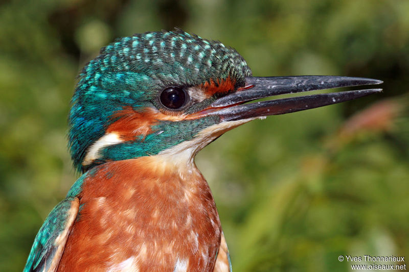 Common Kingfisher juvenile