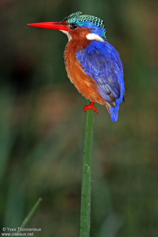 Malachite Kingfisher adult