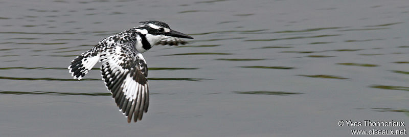 Pied Kingfisher female adult