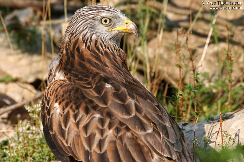 Red Kite adult