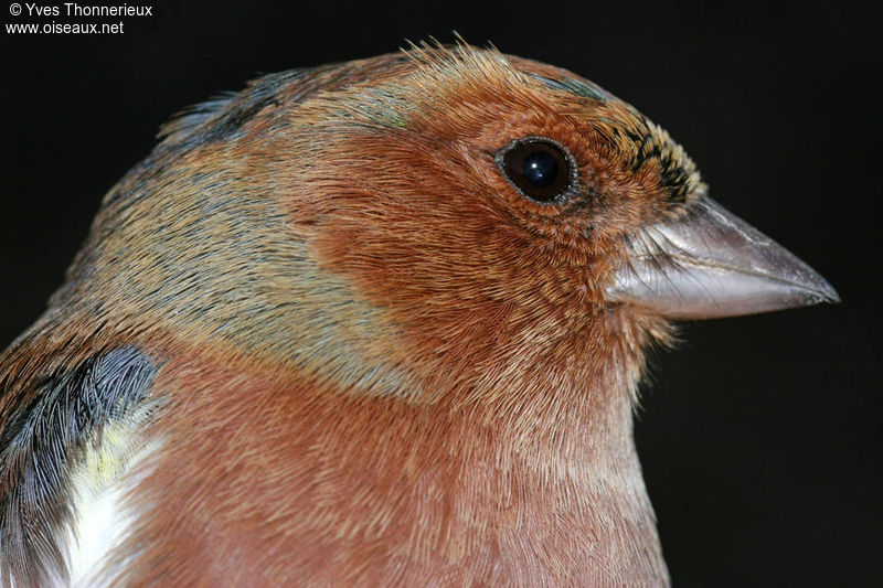 Common Chaffinch male