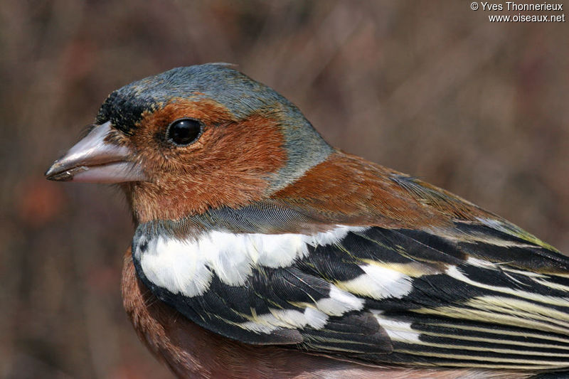 Common Chaffinch male adult