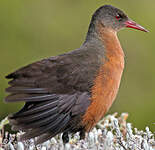 Rouget's Rail