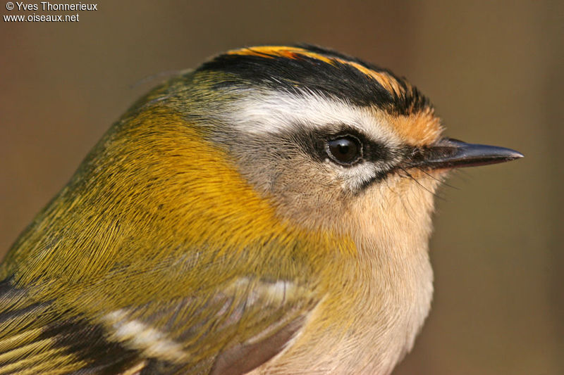 Common Firecrest male adult