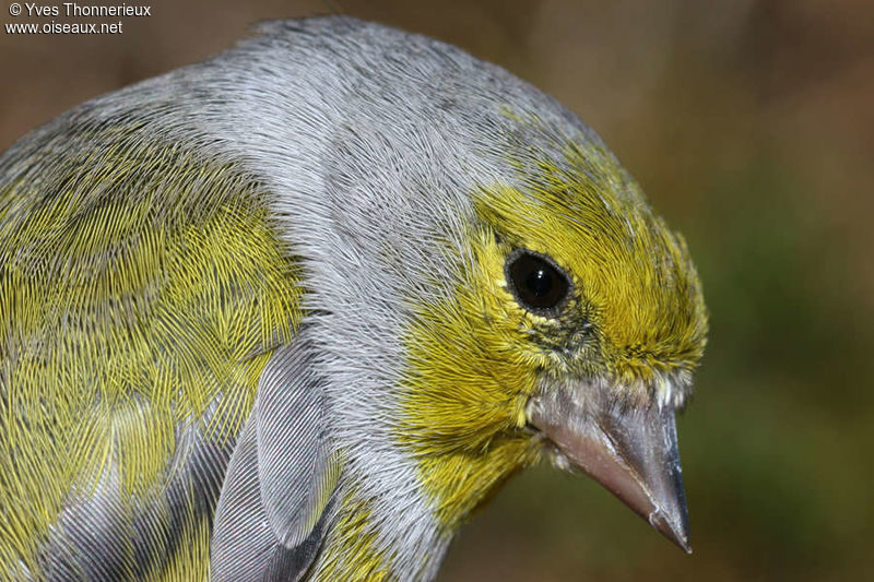 Citril Finch