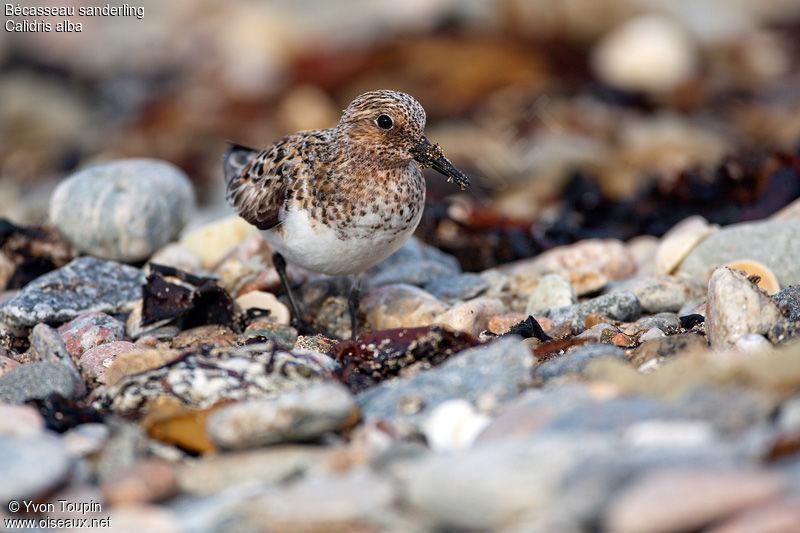 un oiseau - ajonc le 11 mars Bravo Martine   Becasseau.sanderling.yvto.5g