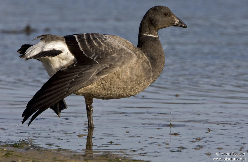 Brant Goose , Behaviour