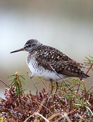 Chevalier sylvain tringa glareola wood sandpiper for Oiseaux du sud de la france