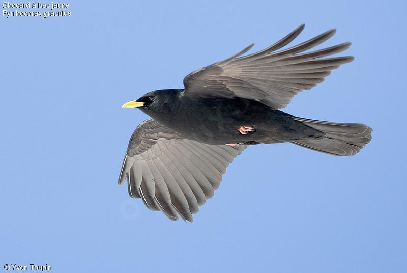 Alpine Chough , Flight