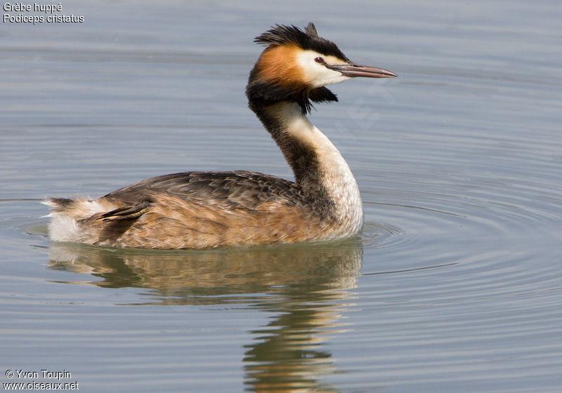 un oiseau - Ajonc - 12 octobre trouvé par Jovany Grebe.huppe.yvto.4g