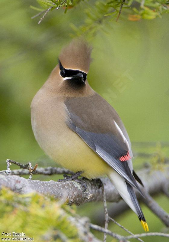 http://www.oiseaux.net/photos/yvon.toupin/images/jaseur.d.amerique.yvto.3g.jpg