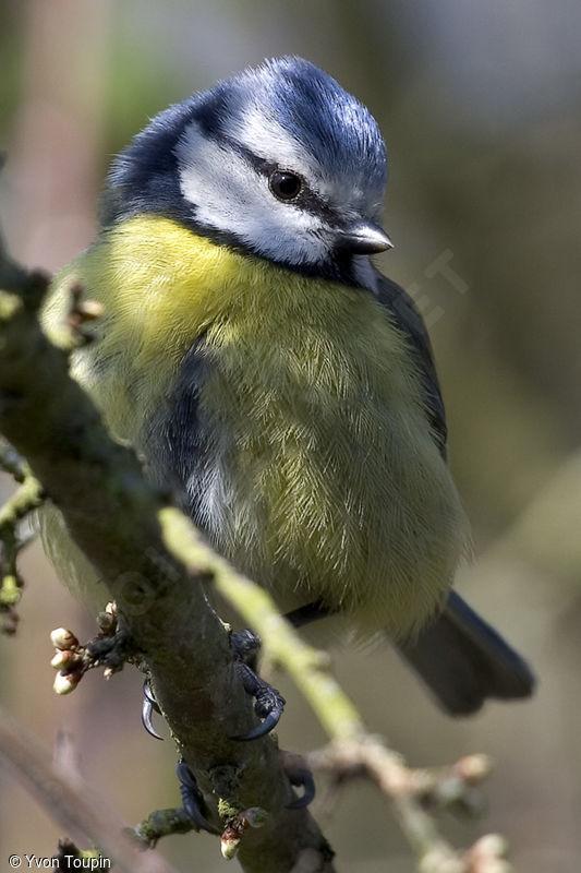 La mésange  Mesange.bleue.yvto.1g