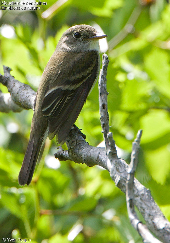 Alder Flycatcher , identification