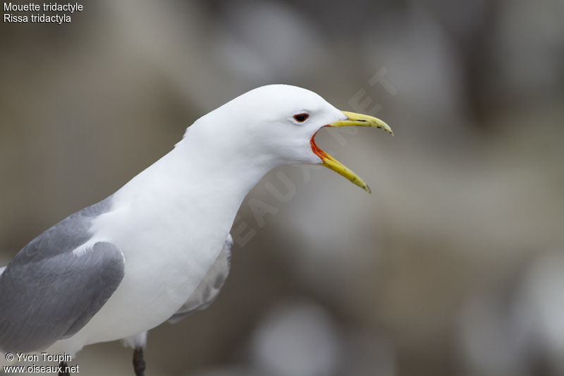 Mouette tridactyle , identification, chant