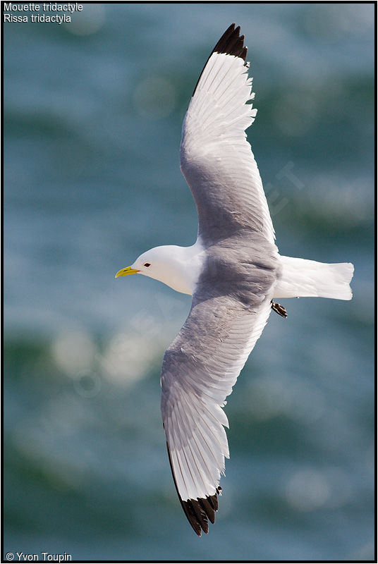 Mouette tridactyle adulte nuptial, Vol