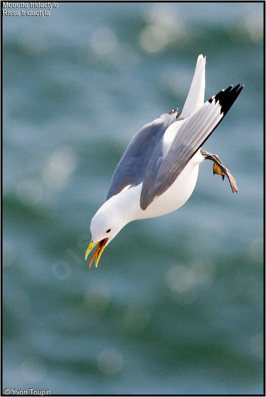 Mouette tridactyle adulte nuptial, chant