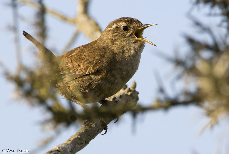 Eurasian Wren, song