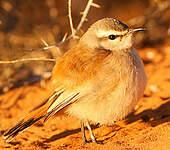 Agrobate du Kalahari