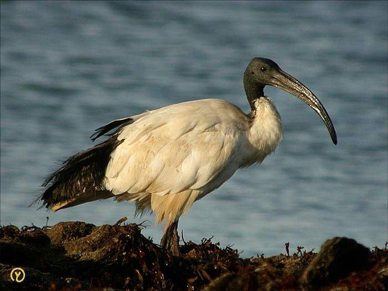 """Résultat de recherche d'images pour """"l'ibis sacré en bretagne"""""""